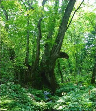 樹齢千年和池の大カツラ